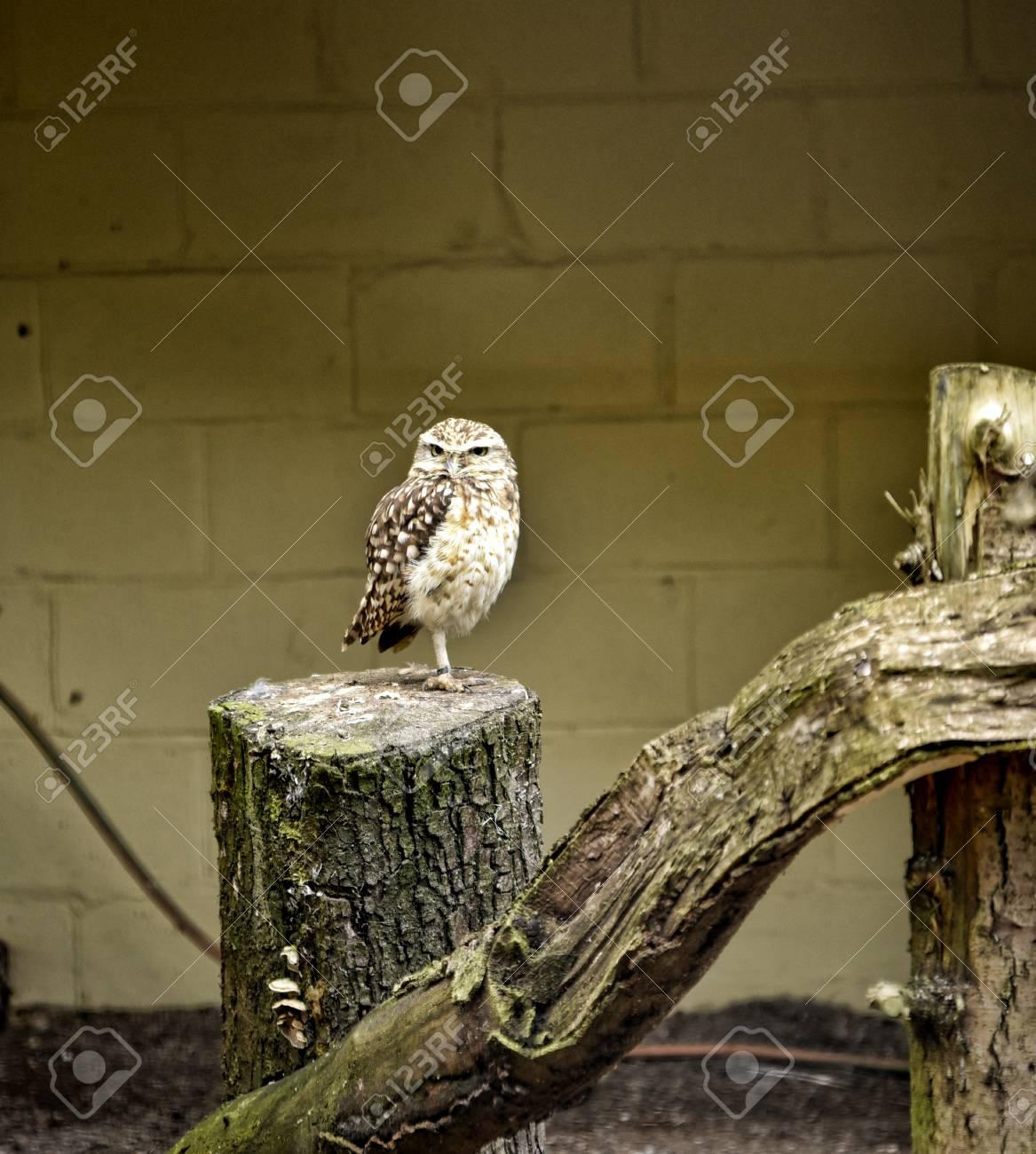 Burrowing Owl In Bird Garden At Beautiful Country House Near.. Stock ...