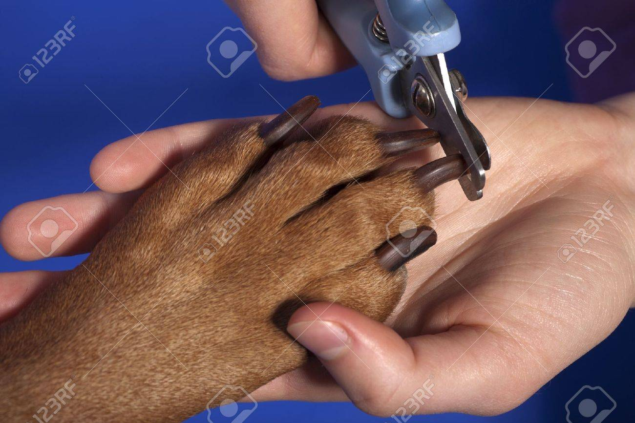 Close Up Of Cutting Dog Nail With Specialty Tool On Blue Background ...