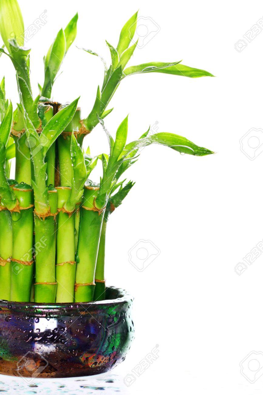 Vergossen Gluck Bambus Pflanze Mit Wassertropfchen Lizenzfreie Fotos