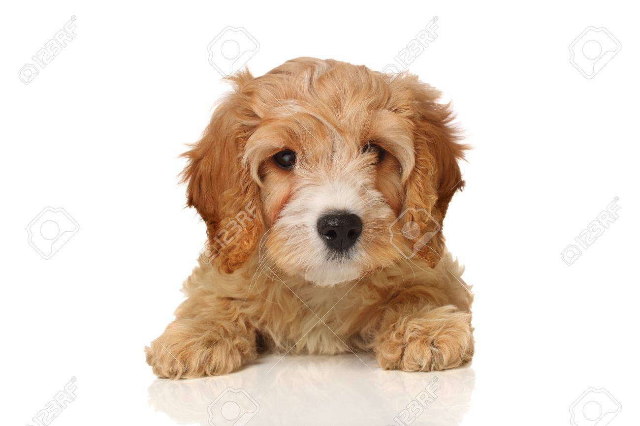 Gorgeous Cavapoo Puppy Looking Your Way Isolated On White Stock Photo Picture And Royalty Free Image Image 17530085