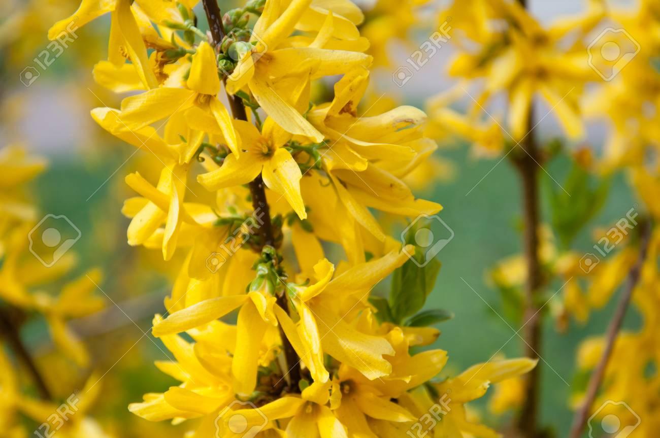 Spring Sun Yellow Flowers On A Bush Forsythia Ornamental Shrub