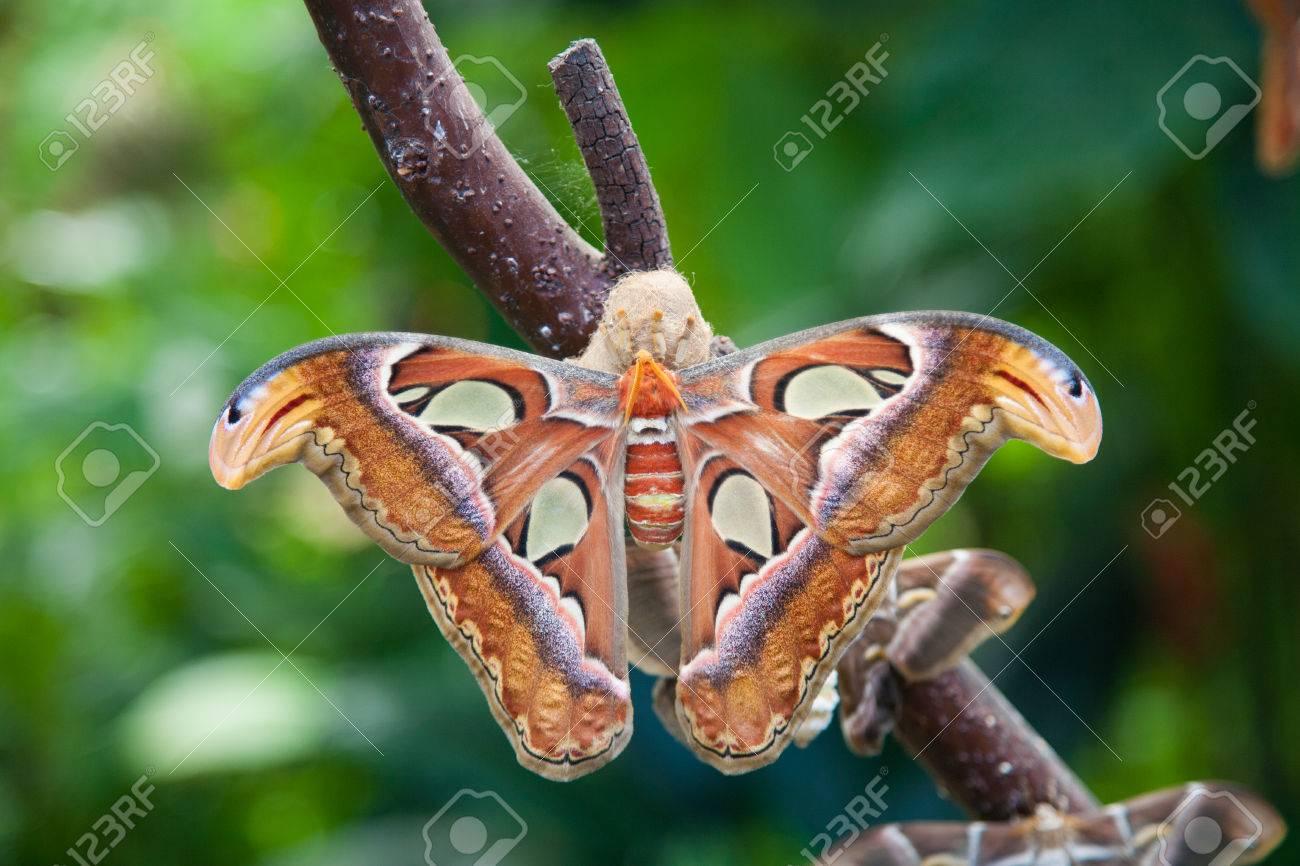 Hermosa Tropical Naranja, Marrón Y Mariposa Polilla Blanca Llamada ...