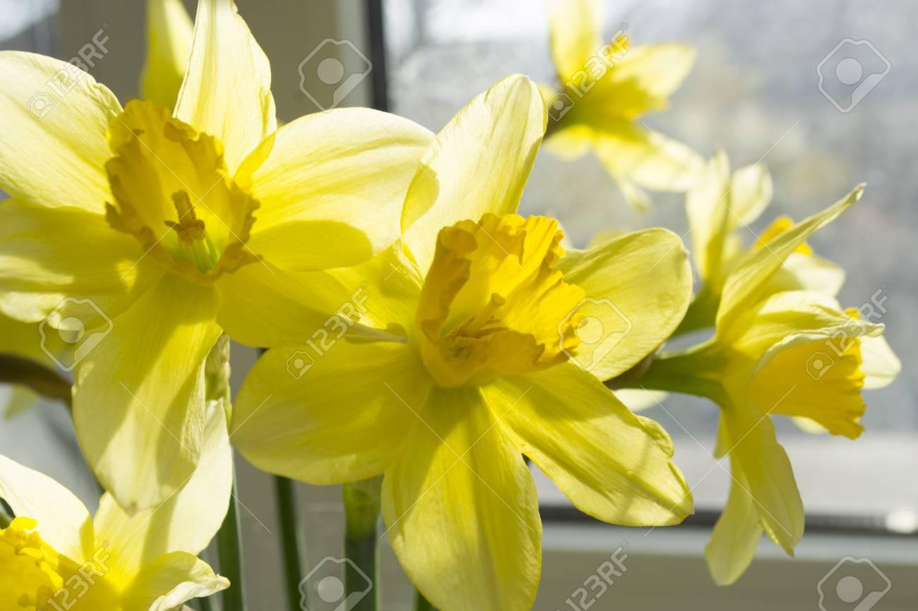 Beautiful Yellow Spring Flowers Daffodils Lizenzfreie Fotos Bilder