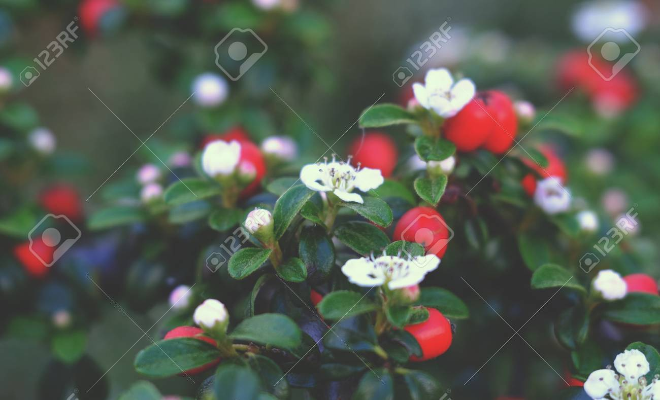 Bush With White Flowers And Red Berries Green Stock Photo Picture