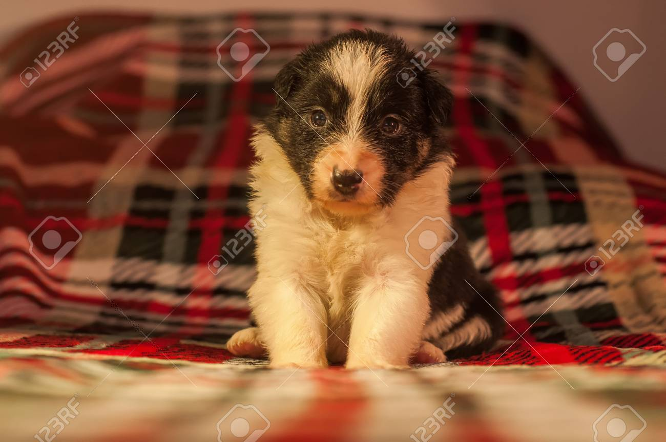 Four Weeks Old Newborn Cute Border Collie Puppy In Home Environment Stock Photo Picture And Royalty Free Image Image 98278642