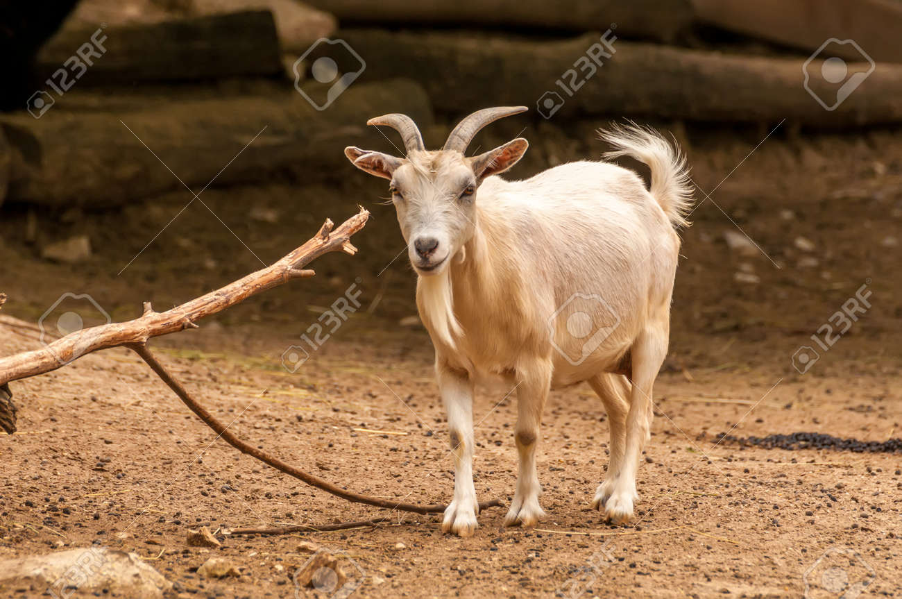Portrait of a beautiful goat in a zoo on a sunny day. - 134373346