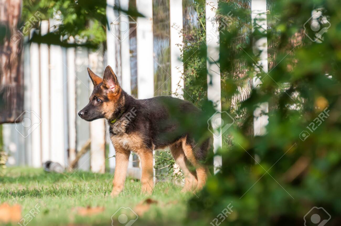 A Cute German Shepherd Puppy Dog Discovering The Backyard On Stock Photo Picture And Royalty Free Image Image 134373237