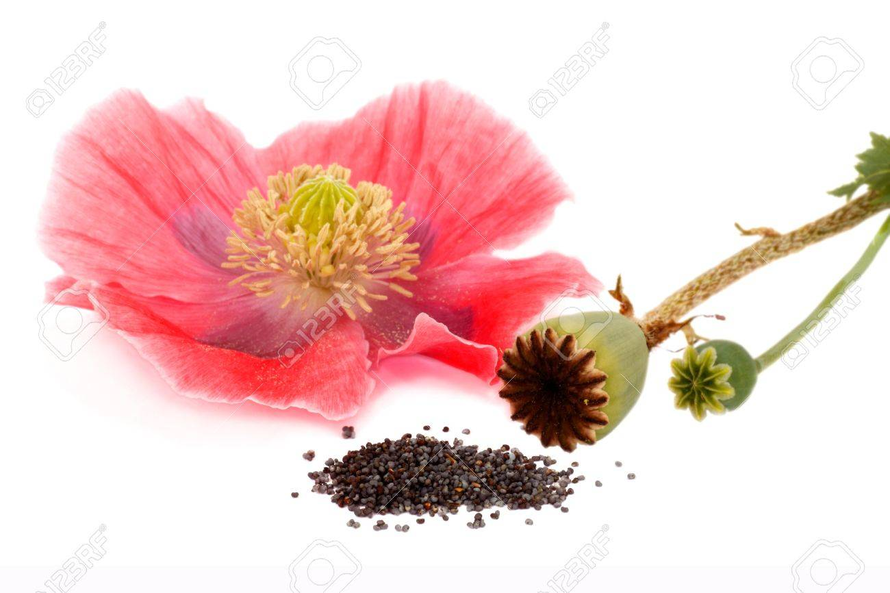 Stages Of Poppy Flower Box Poppy Poppy Seeds Isolated On Stock
