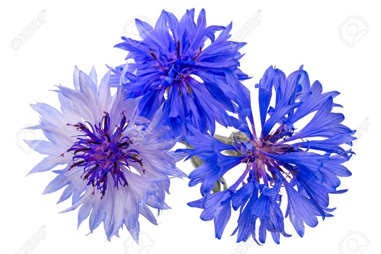 Centaurea Is A Genus Of Between 350 And 600 Species Of Herbaceous
