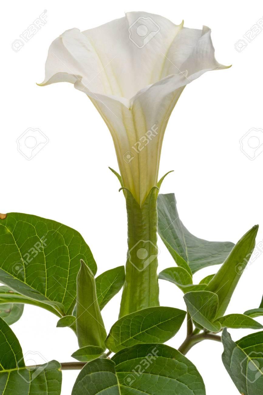 Datura Giftige Hohe Krautige Pflanze Mit Grossen Blattern Und