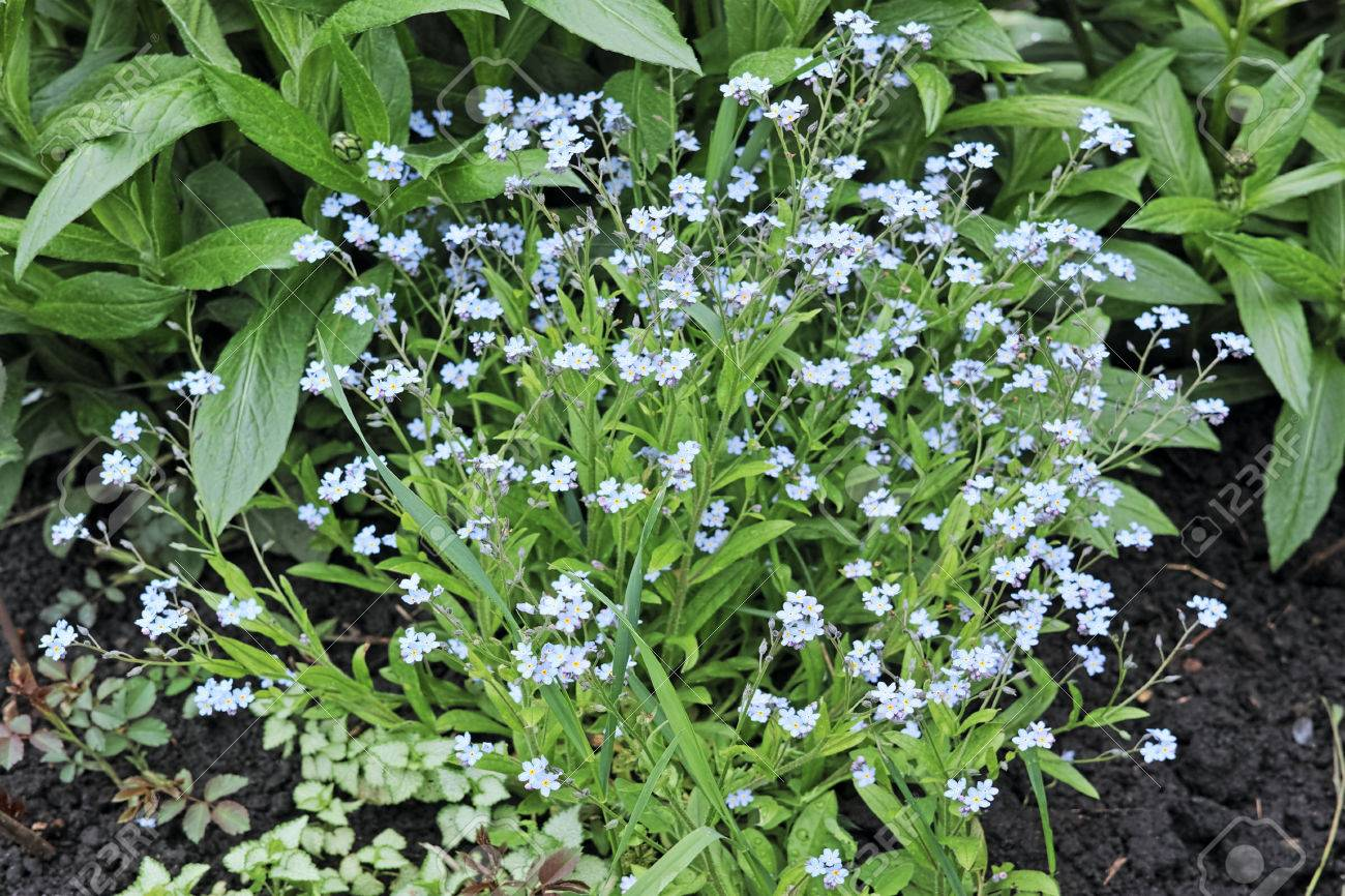 Forget me not herbaceous plant with small blue flowers the forget me not herbaceous plant with small blue flowers the quality of izmirmasajfo Choice Image