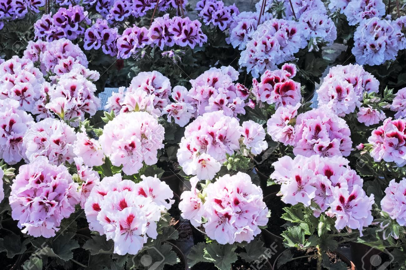Piante Perenni Da Fiore il pelargonium è un genere di piante da fiore che comprende circa 200  specie di piante perenni, piante grasse e arbusti, comunemente noti come  gerani
