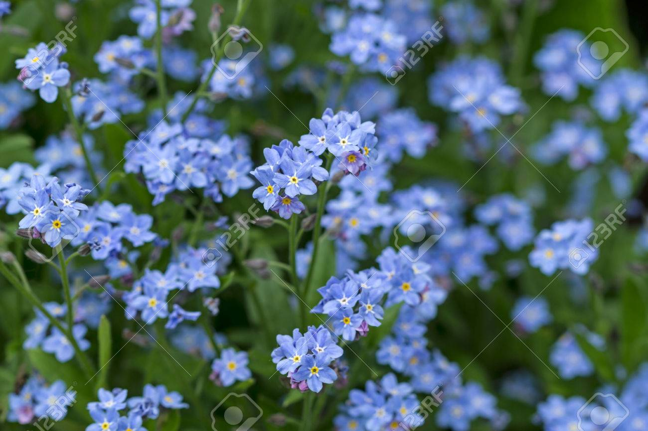 Forget me not herbaceous plant with small blue flowers nature forget me not herbaceous plant with small blue flowers nature background stock izmirmasajfo Choice Image