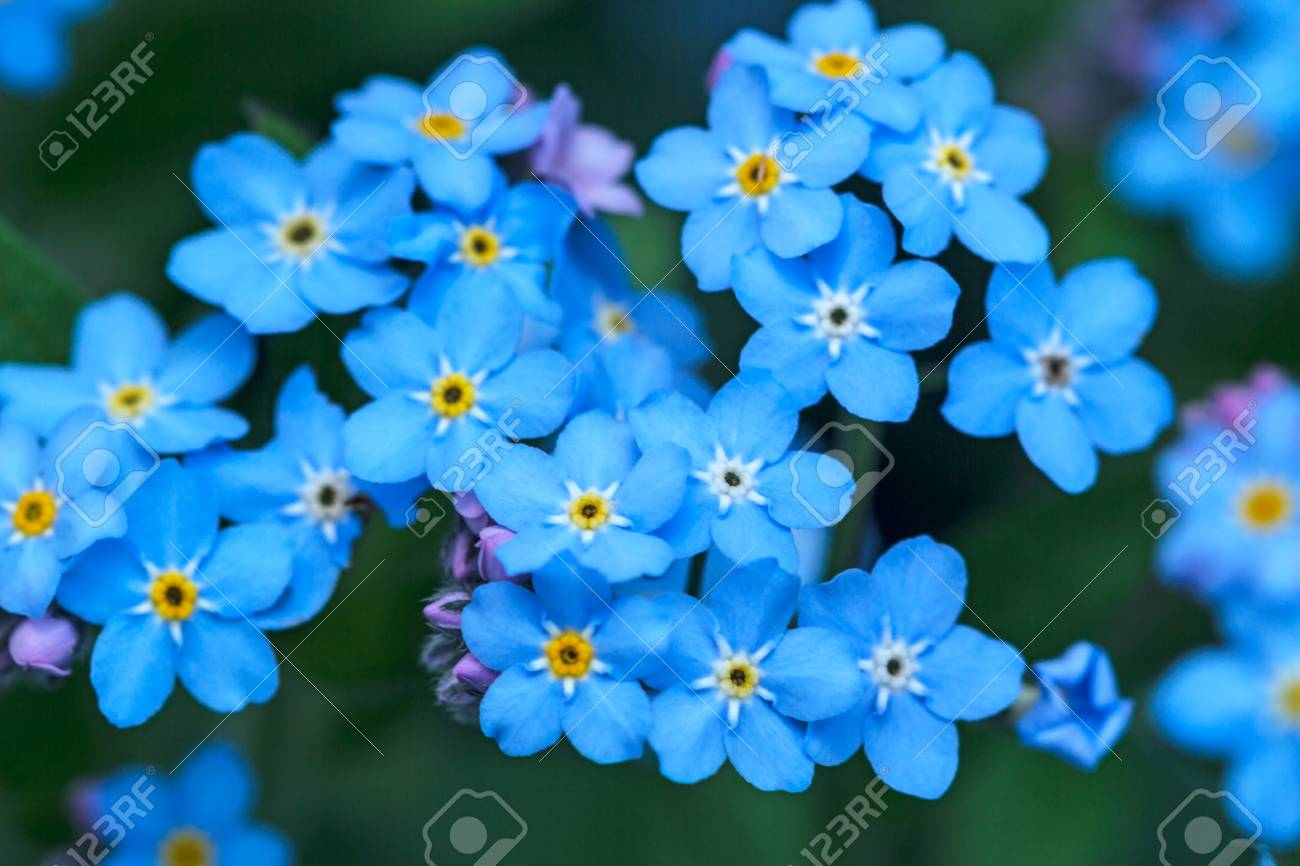 Forget Me Not Herbaceous Plant With Small Blue Flowers Stock Photo Picture And Royalty Free Image Image 101628571