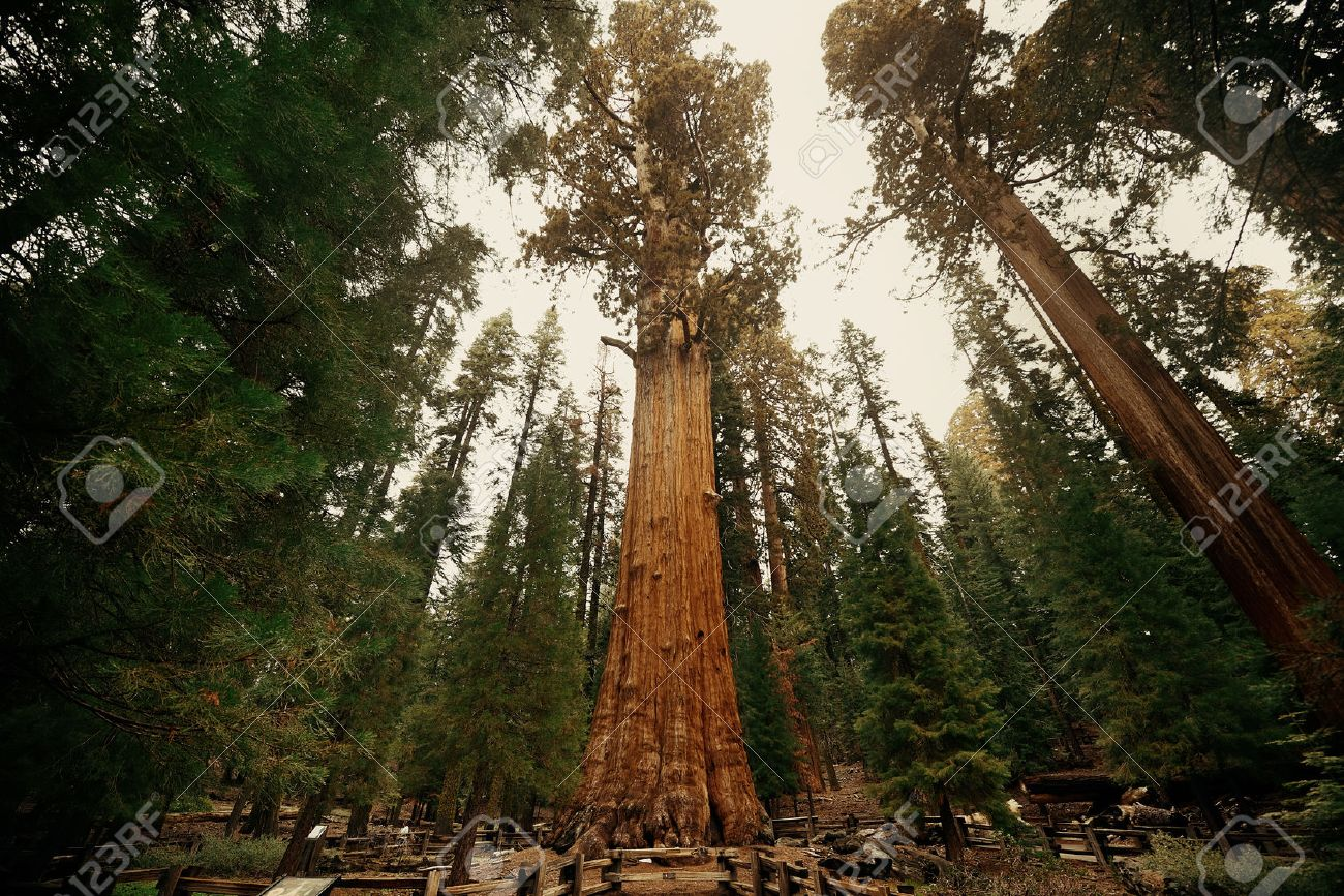 General Sherman Tree in Sequoia National Park - 43176319