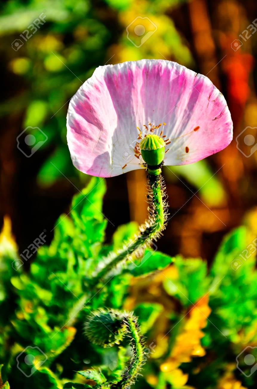 Opium poppy papaver somniferum flower stock photo picture and opium poppy papaver somniferum flower stock photo 78866083 mightylinksfo