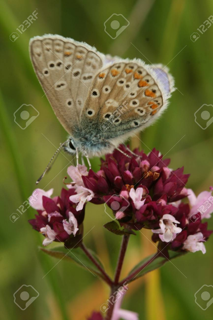 Common blue butterfly Stock Photo - 9518132