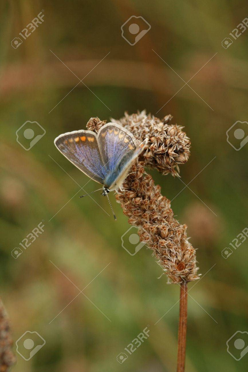 Female common blue butterfly Stock Photo - 10381631