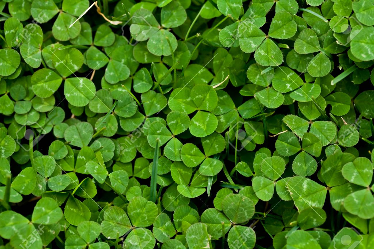 Happy Clover Patch Stock Photo - 13980662
