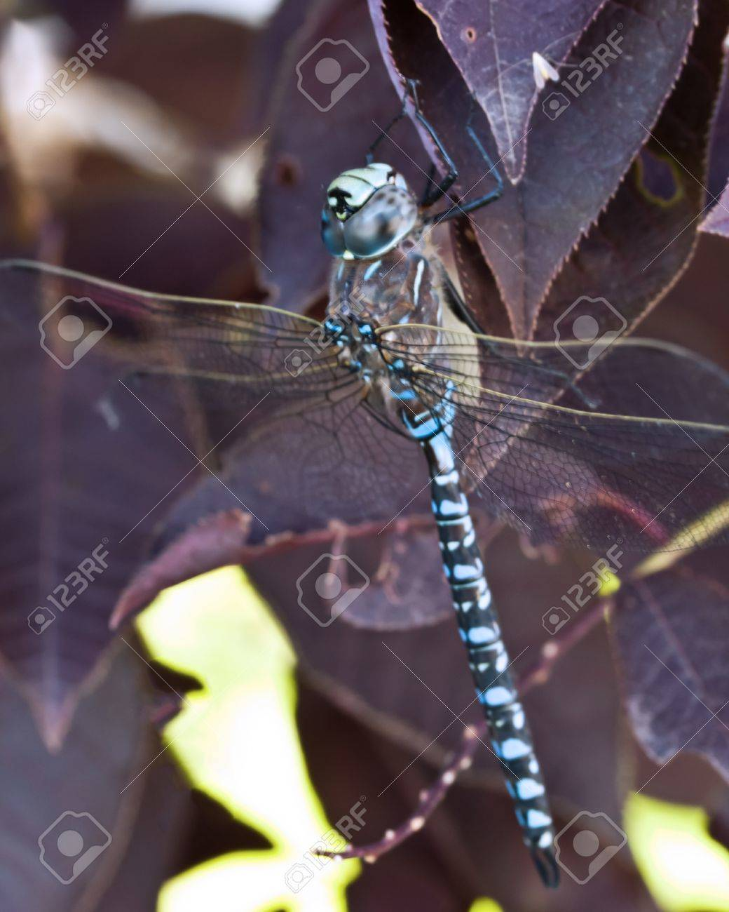 A blue dragonfly on purple leaves Stock Photo - 14413528