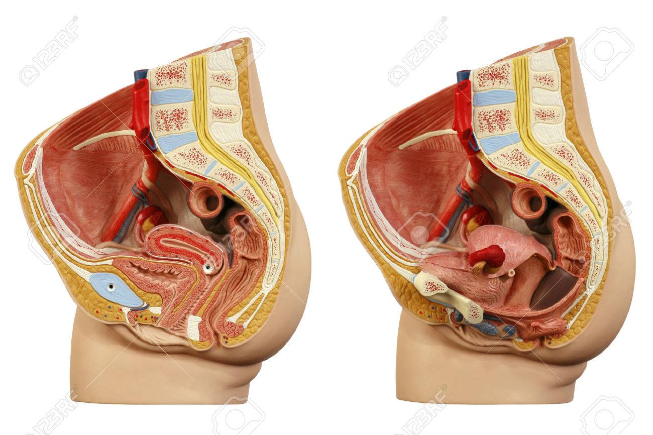 Anatomical Model Female Pelvis Stock Photo Picture And Royalty Free