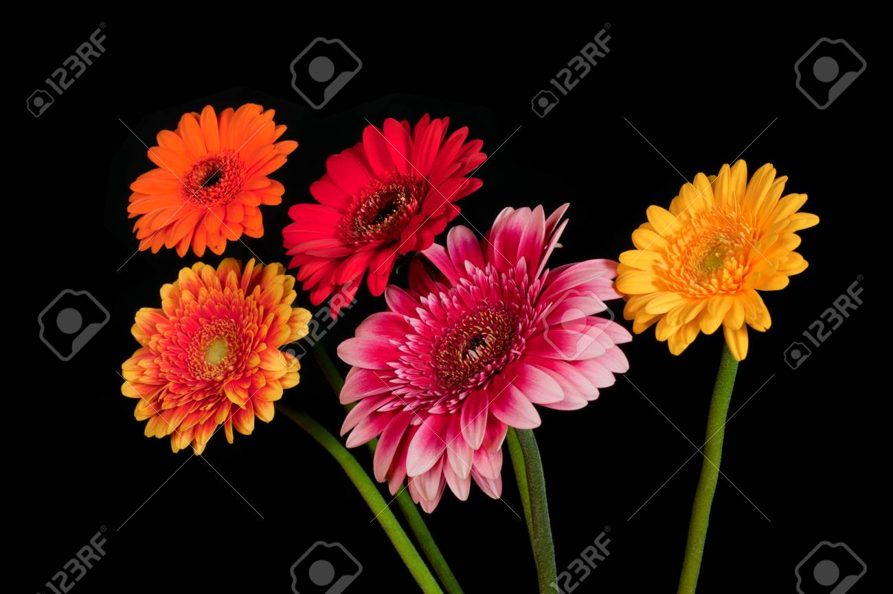 Blossoms Of Colorful Gerbera Flowers In Various Colors Isolated ...