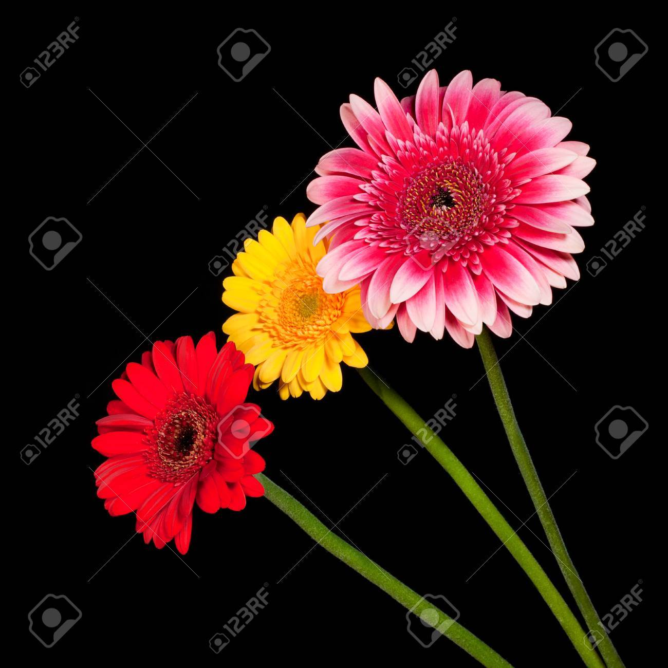Three Blossoms Of Colorful Gerbera Flowers In Various Colors.. Stock ...
