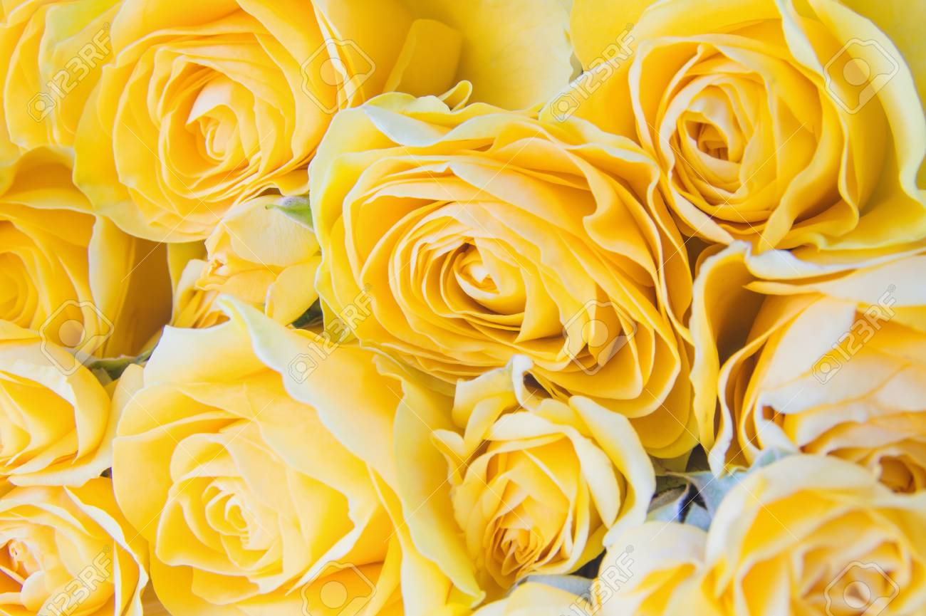 Fresh Yellow Roses Close Up Yellow Roses Flowers Floral