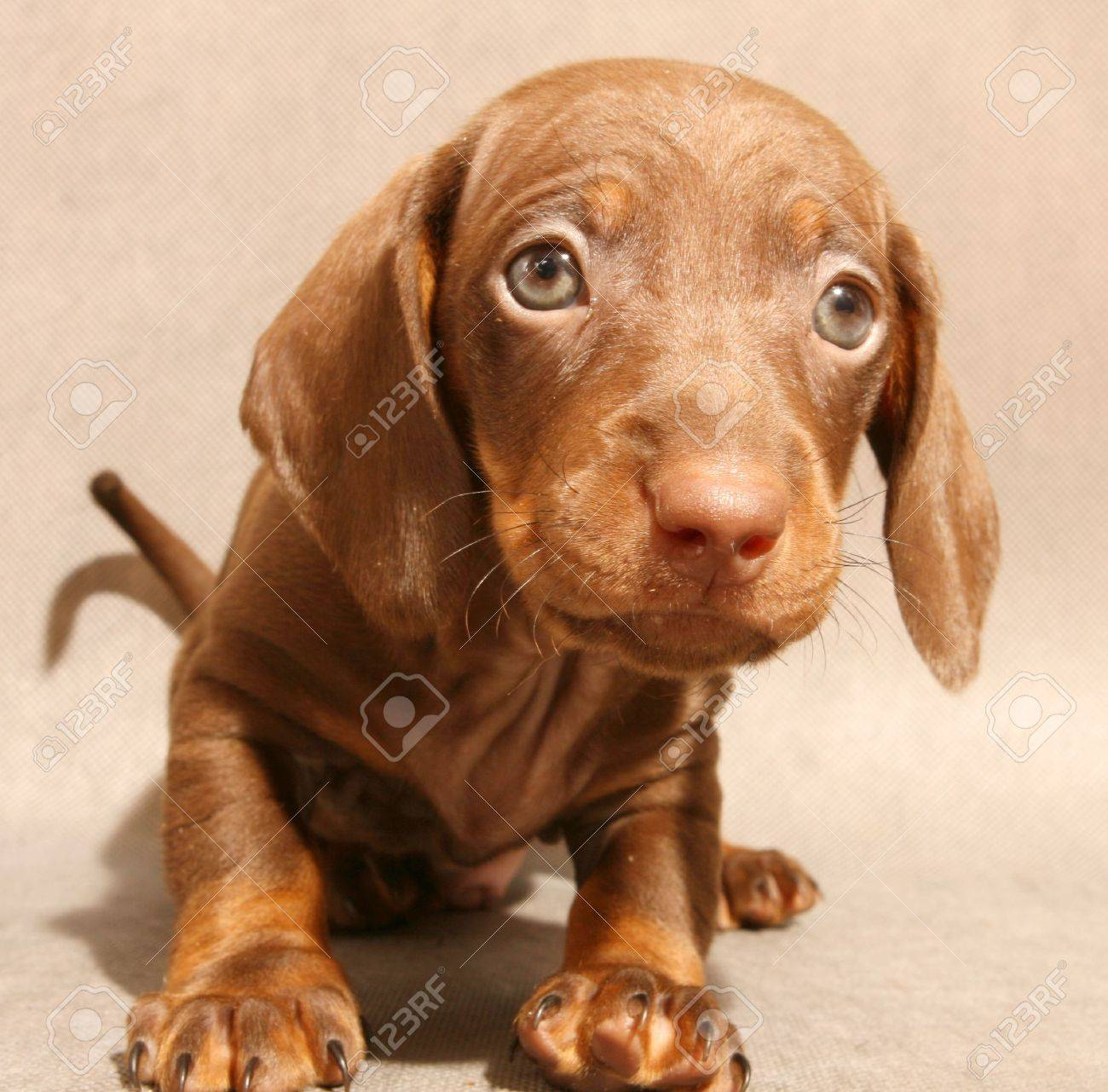Cute Brown Dachshund Puppy On Grey Ground Stock Photo Picture And Royalty Free Image Image 3637822