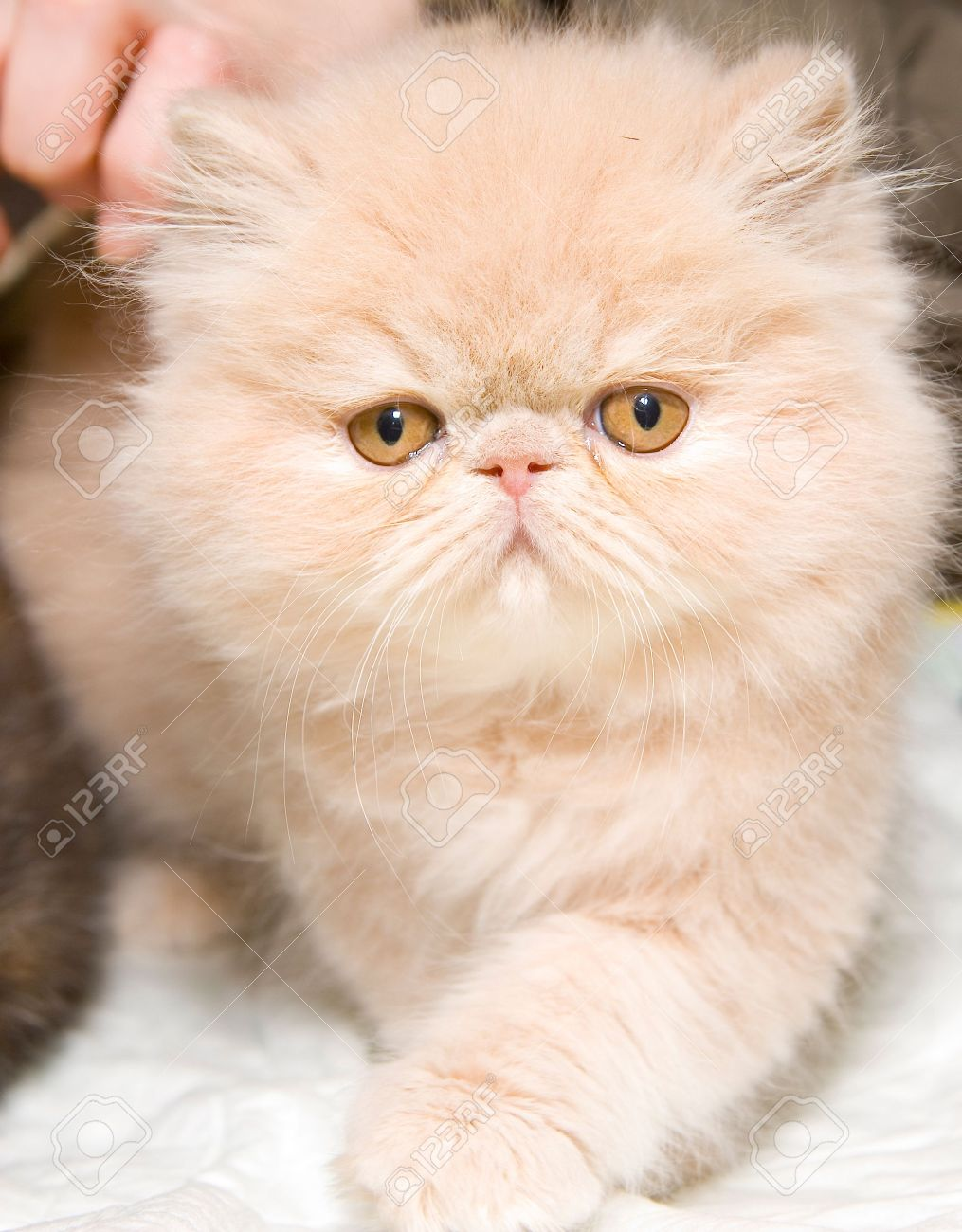 Cute Fluffy Persian Kitten Stock Picture And Royalty Free