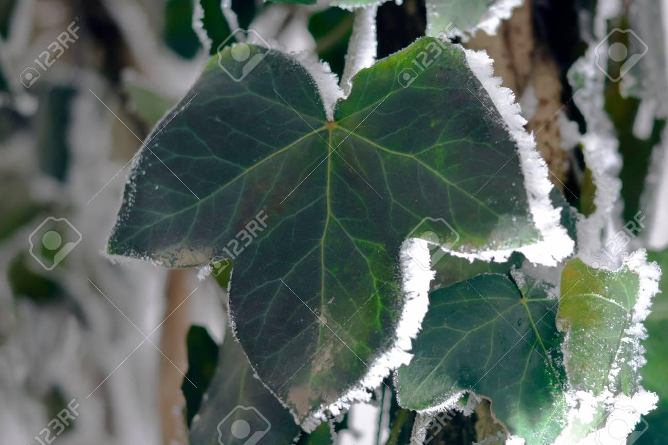 Frozen Ivy