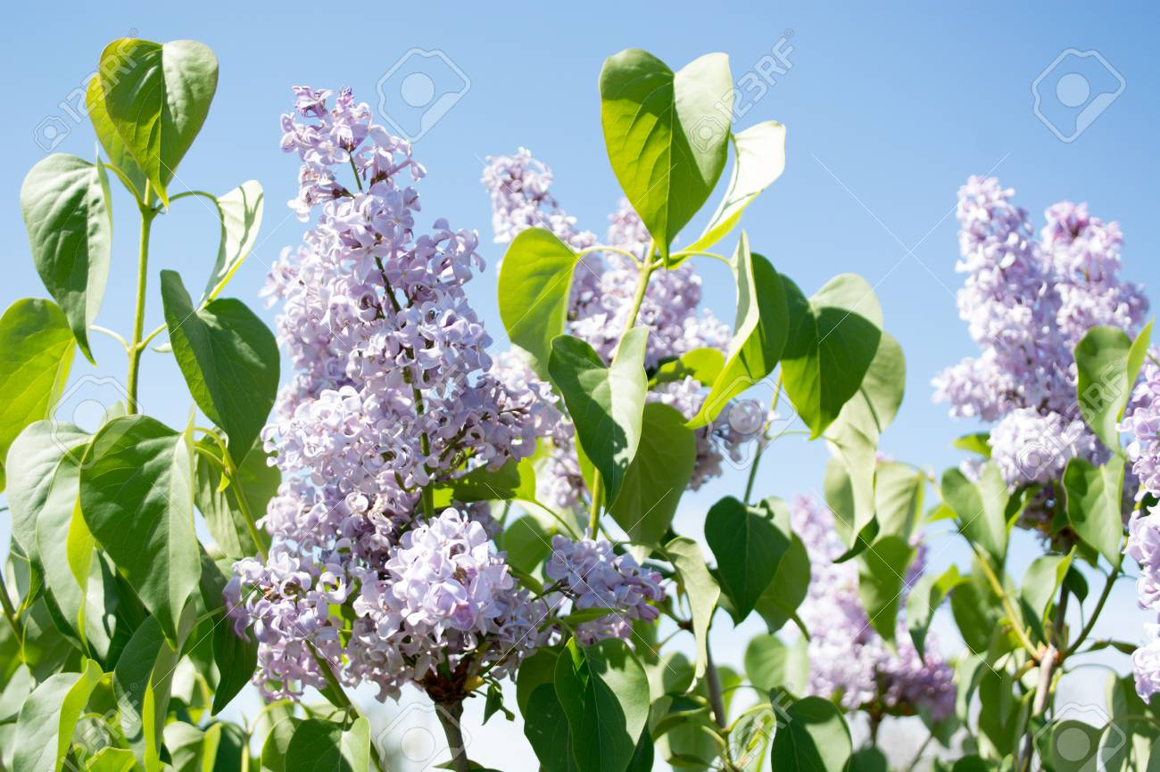 Lilac Flowers Spring Floral Background Lilac Flowers At The Stock