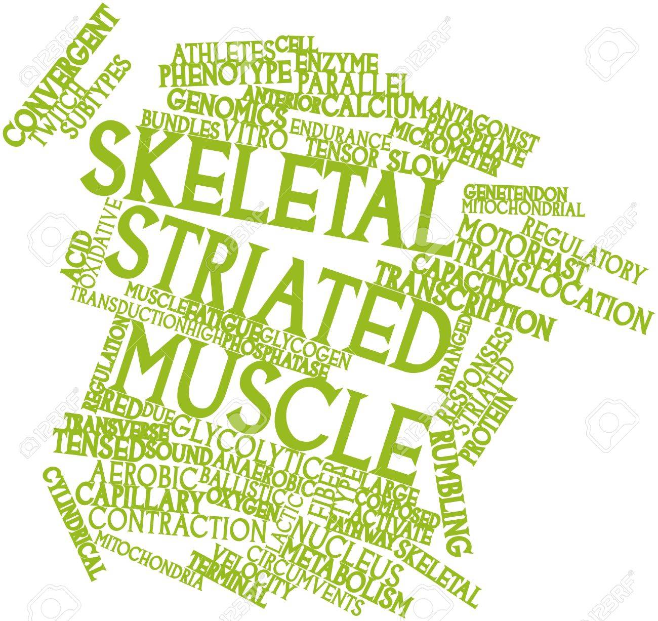 abstract word cloud for skeletal striated muscle with related