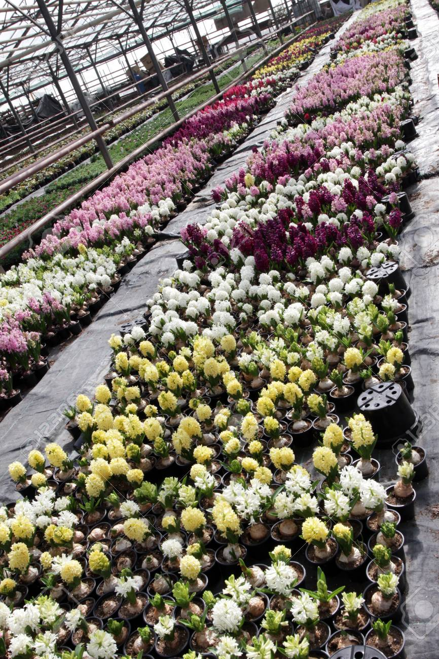 Hyacinth field of colorful spring flowers hyacinths plants stock field of colorful spring flowers hyacinths plants in pots with bulbs in greenhouse on mightylinksfo