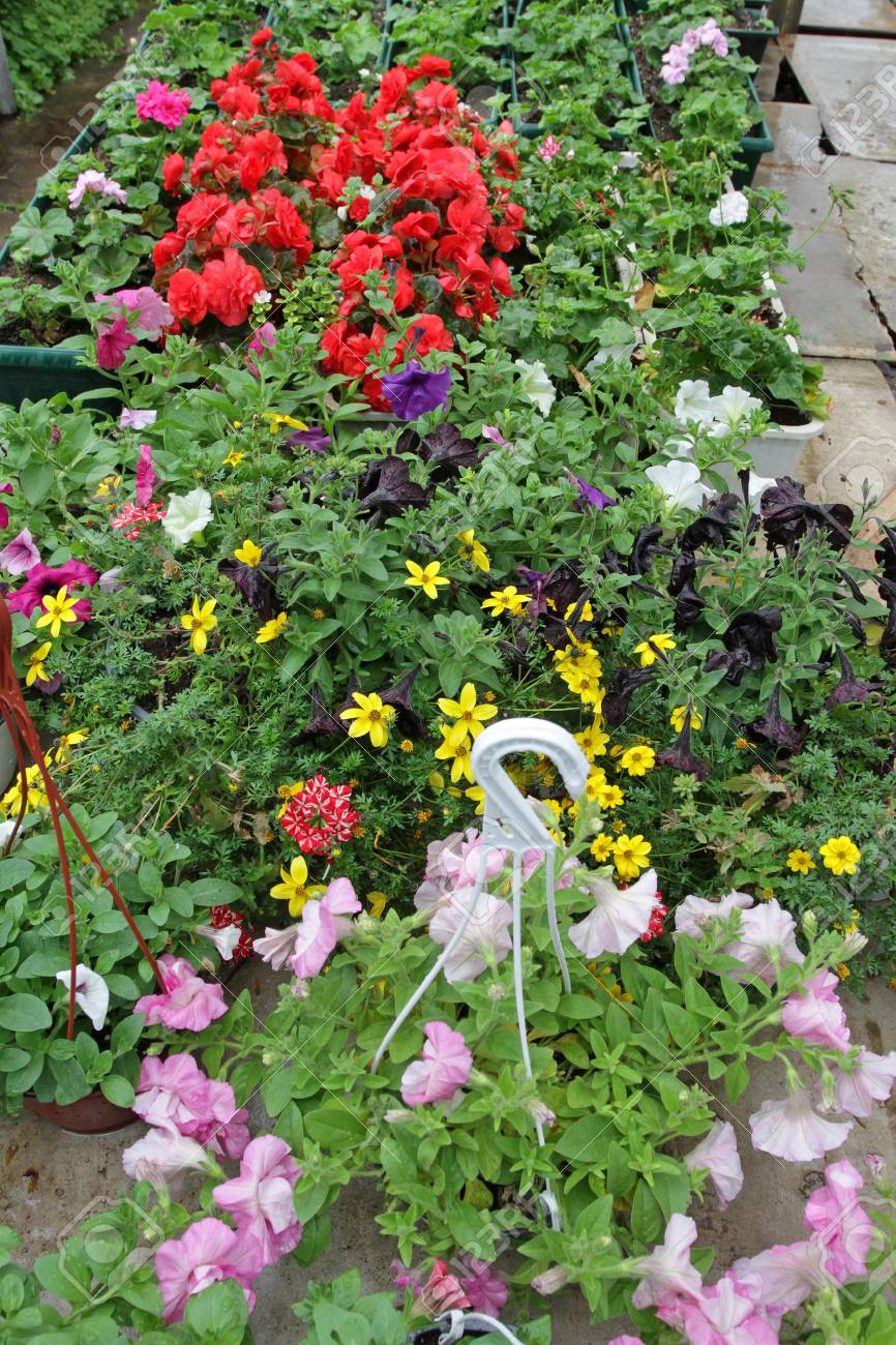 Petunia Colorful Spring And Summer Flowers In Hanging Pots In