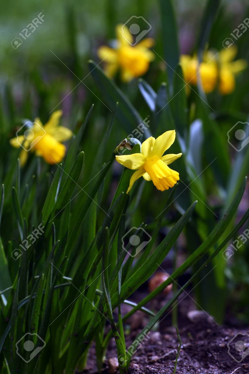Narcissus Daffodil Narcissus Flowers In Spring In Nature