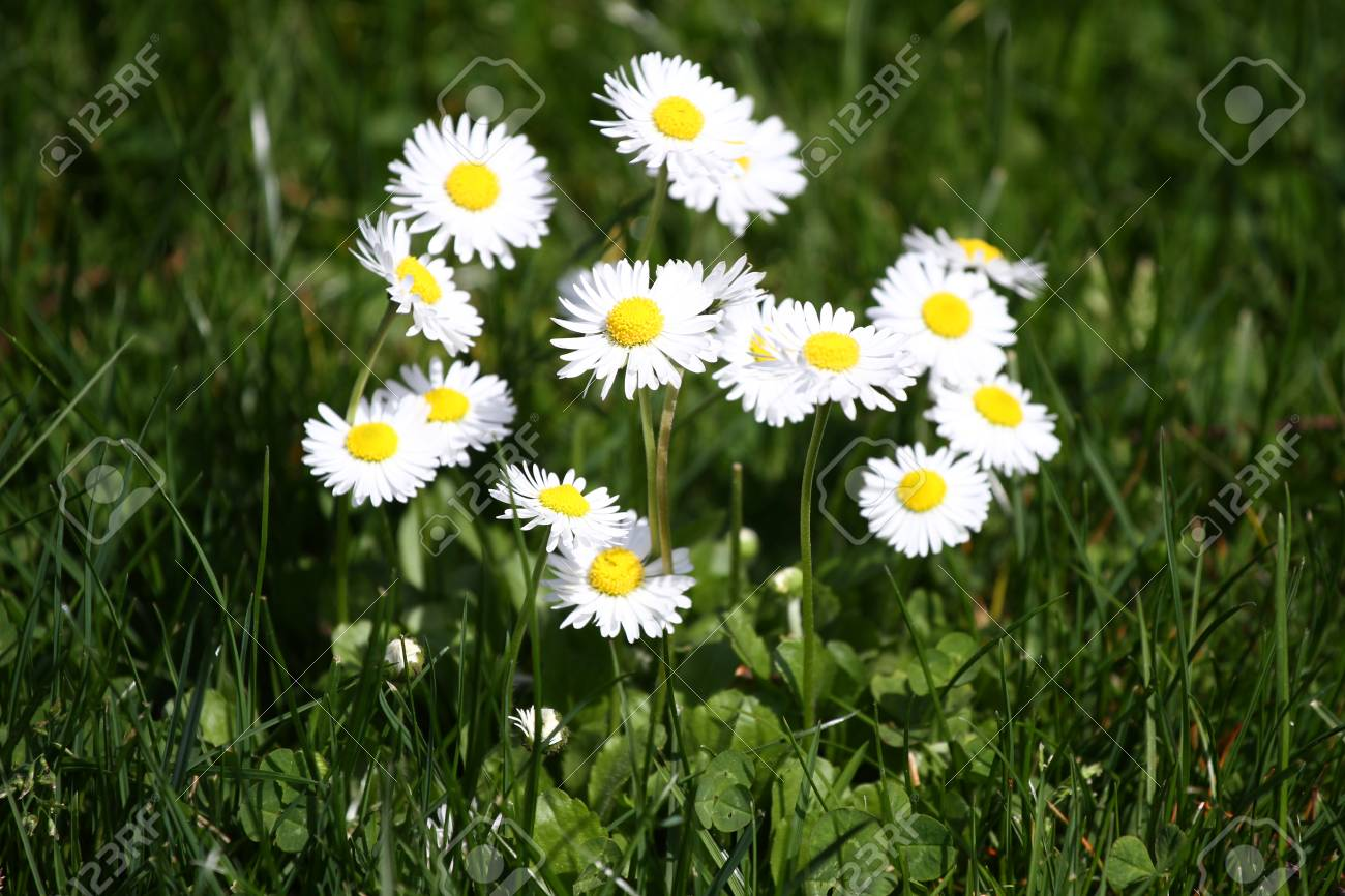 Daisy Daisy Flowers In Spring On A Meadow In Green Grass In Stock
