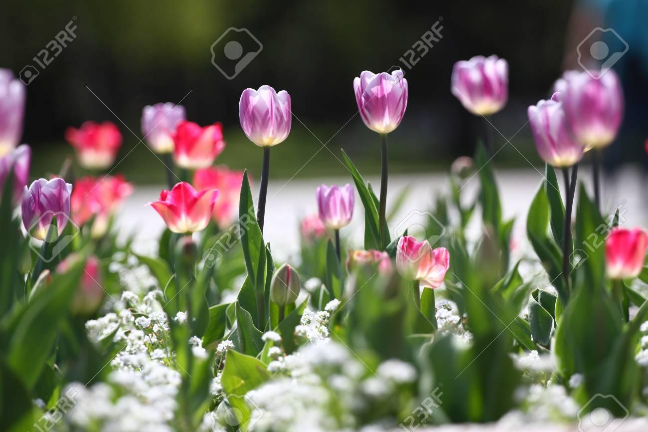 Unique Colors Purple Tulips On Sunlight Tulip Wallpaper Background Flowers Texture Floral Pattern Selective Focus