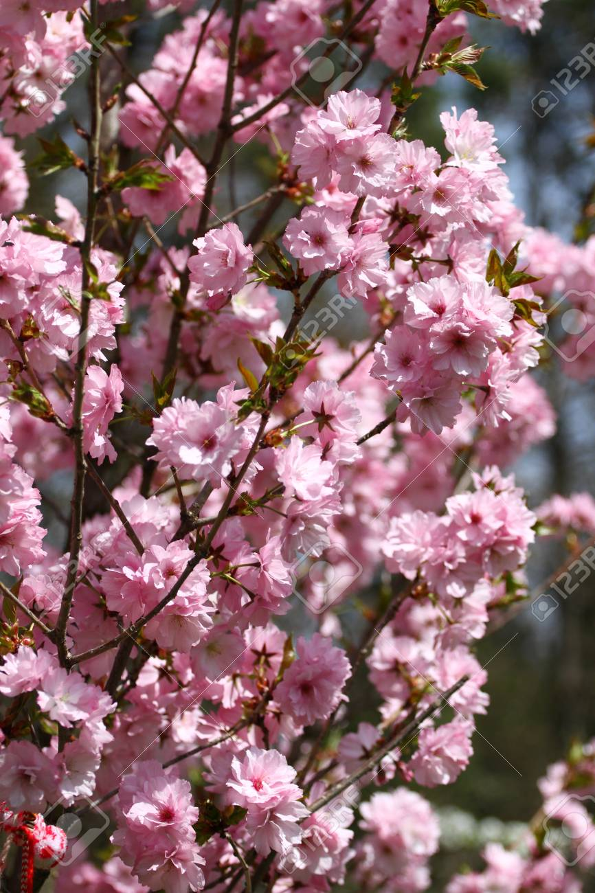 Blossoms Of Japanese Cherry Orchards In The Spring Blooming