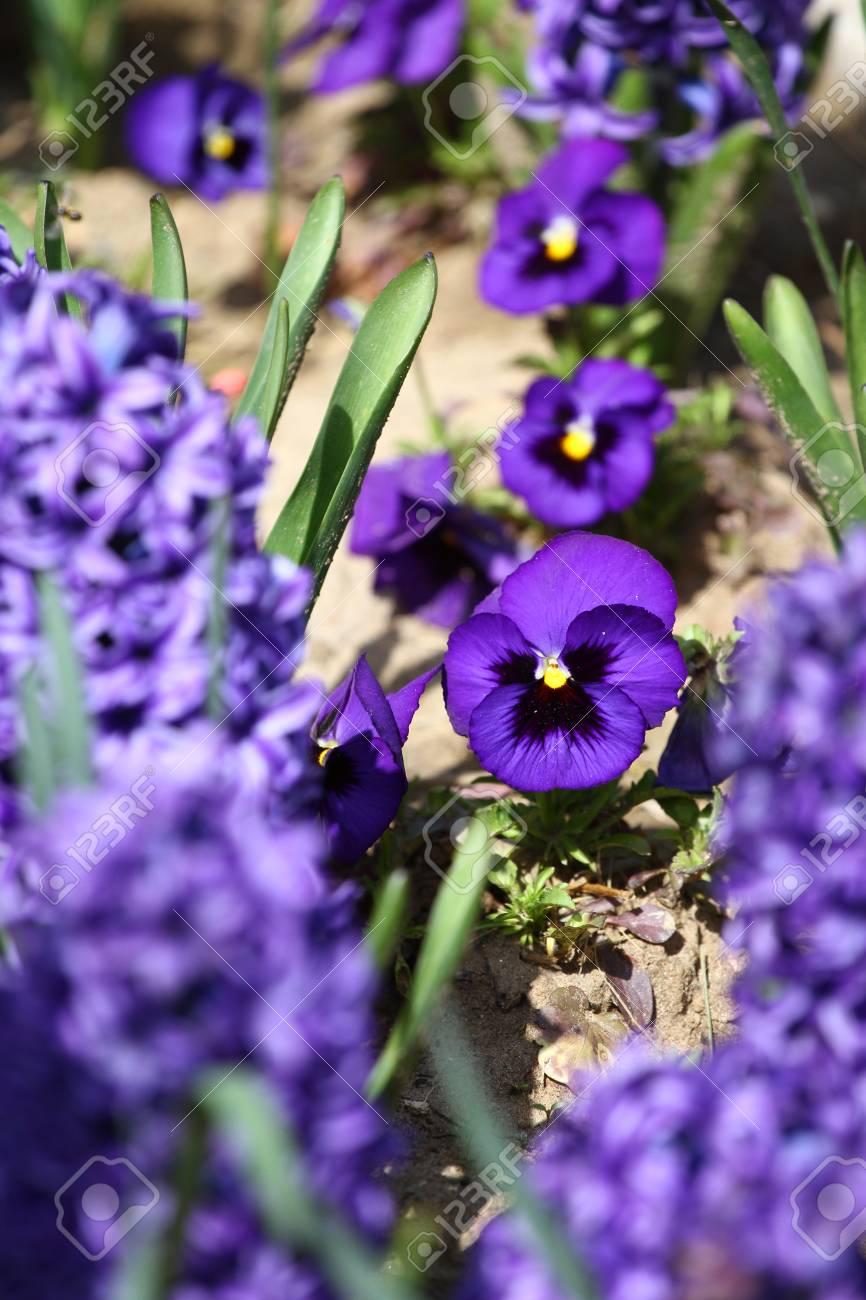 Violet flowers blue violet violets in spring on a meadow stock stock photo violet flowers blue violet violets in spring on a meadow in green grass in nature floral pattern spring and summer flowers background izmirmasajfo