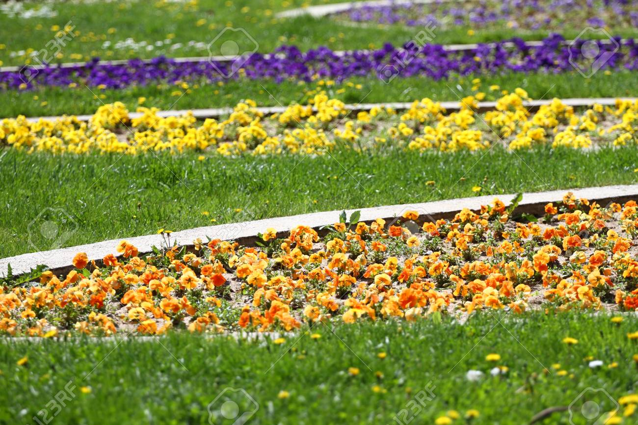 Spring And Summer Violets Flowers Field In The Park On A Green Stock Photo Picture And Royalty Free Image Image 99747736