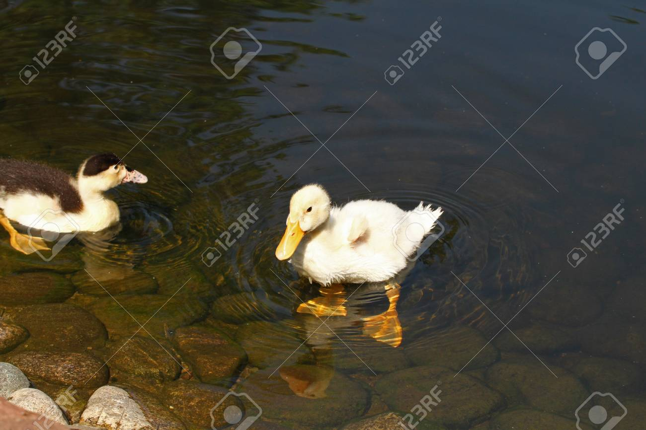 White Duck Cute Baby Duck Young White Ducks Swimming In The Stock Photo Picture And Royalty Free Image Image 102171917