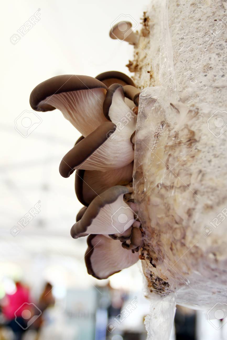 Blue Oyster Mushroom  Blue Oyster growing in sawdust  Fresh Oyster