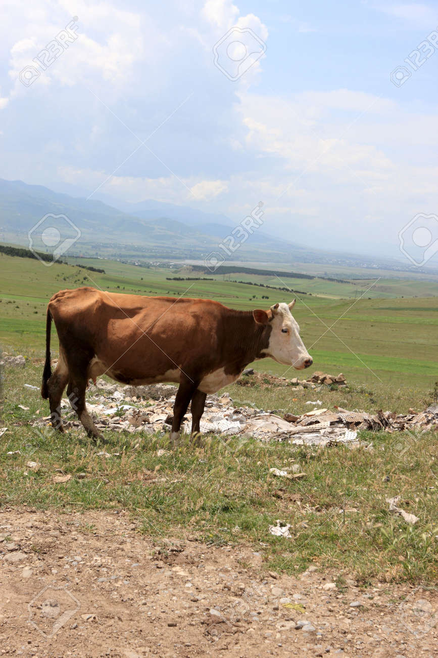 The brown cow on pasture in Georgia Stock Photo - 5017714