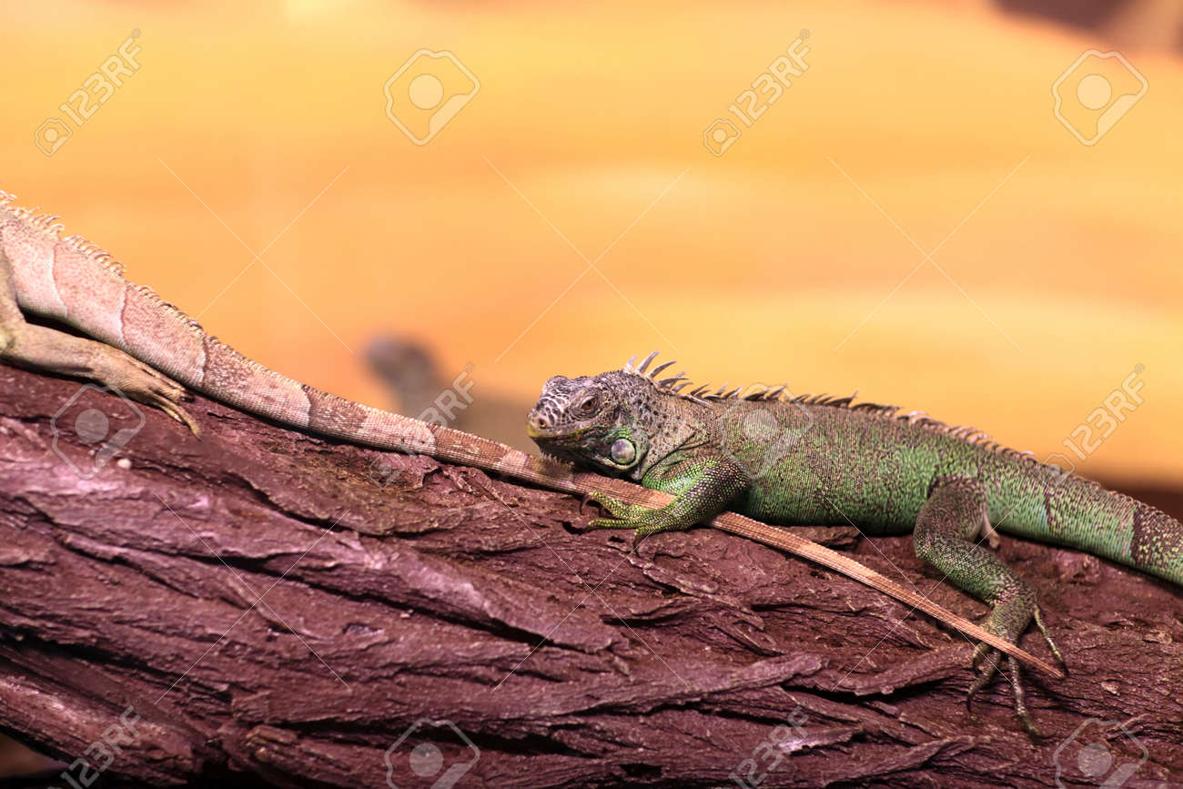 Chinese Water Dragon On Branch Tree At Terrarium Stock Photo