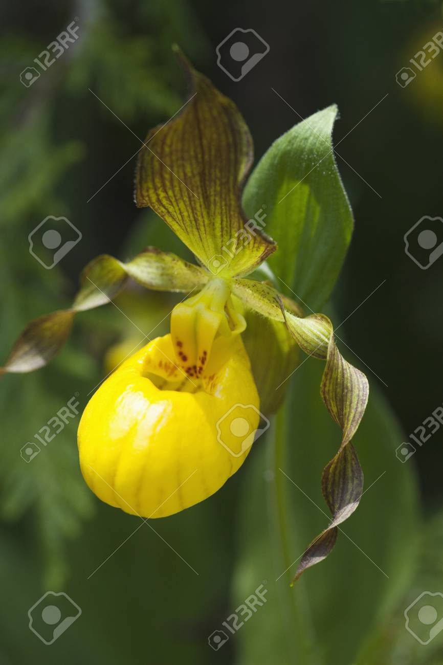 Close Up Of Yellow Ladys Slipper Orchid Bruce Peninsula Georgian