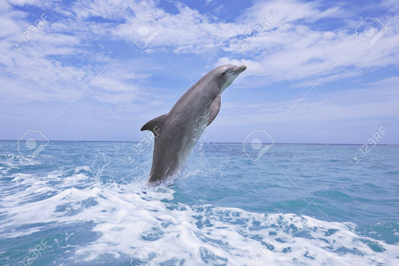 Common Bottlenose Dolphin Jumping out of Water, Caribbean Sea,