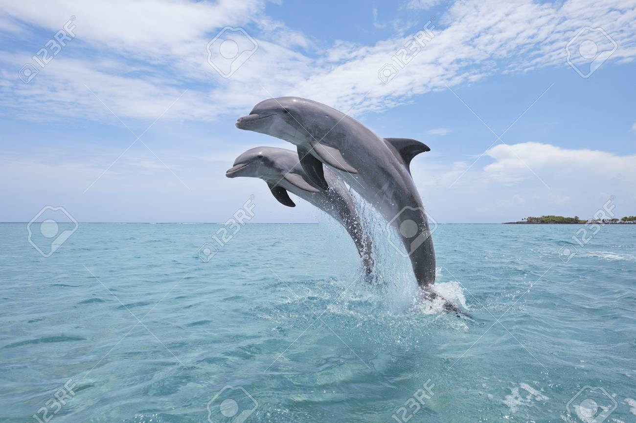 Common Bottlenose Dolphins Jumping out of Water, Caribbean Sea,