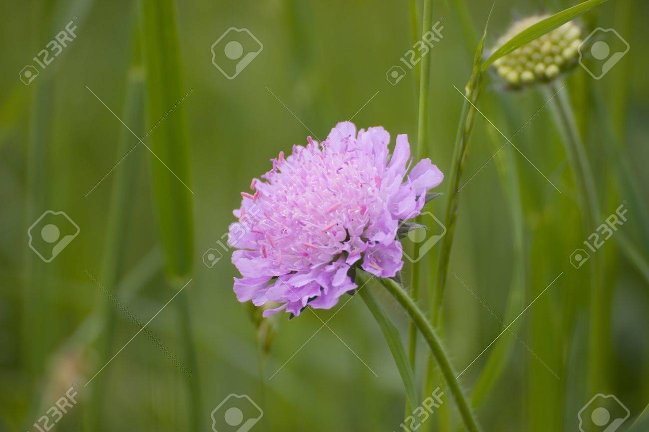 Bloom Pink Flowers In The Meadow Stock Photo Picture And Royalty