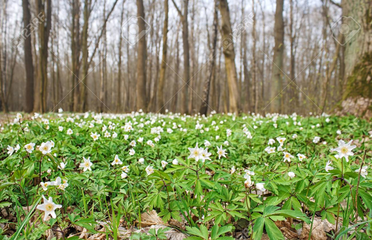 Beautiful wild white flowers in forest on sunny spring day stock beautiful wild white flowers in forest on sunny spring day stock photo 76822785 mightylinksfo